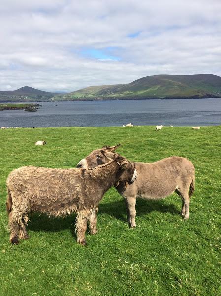blasket-island-donkey